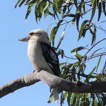 <10月末までの無料体験会> ケアンズの鳥たちの出迎え